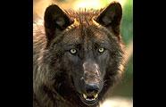 PHwolfmn_071411A