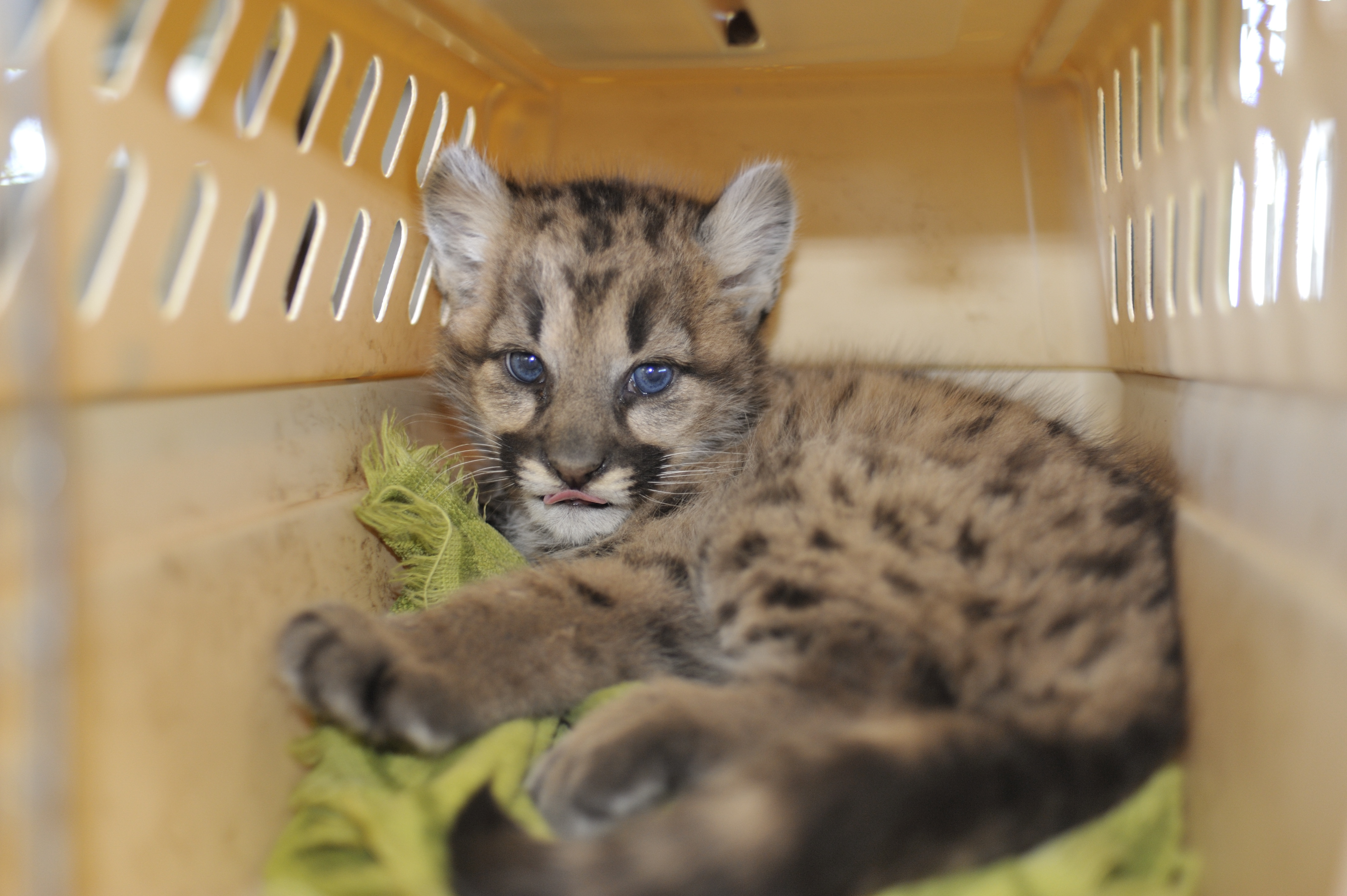 Cute Cougar Cub Photos Melt Iciest of Hearts