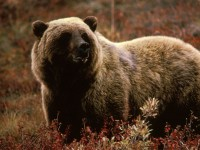 800px-Grizzlybear55