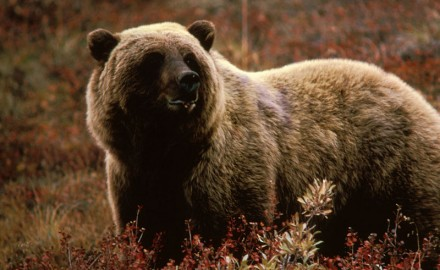 A Nevada man has died from injuries suffered during a grizzly bear attack that occurred Friday near