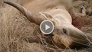 Petersen's Hunting Publisher Kevin Steele and CZ-USA's Jason Morton experience a South Africa Eland