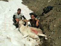 Dall's sheep kill
