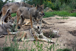 I love wolves. They are one of the most magnificent animals in North America. When I lived in