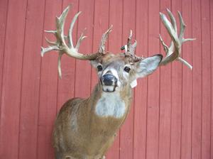 Morris 36-point buck
