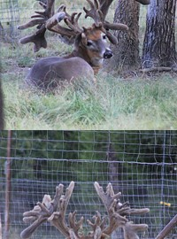This bruiser of a buck may look like a sure trophy, but one small detail in the background has a