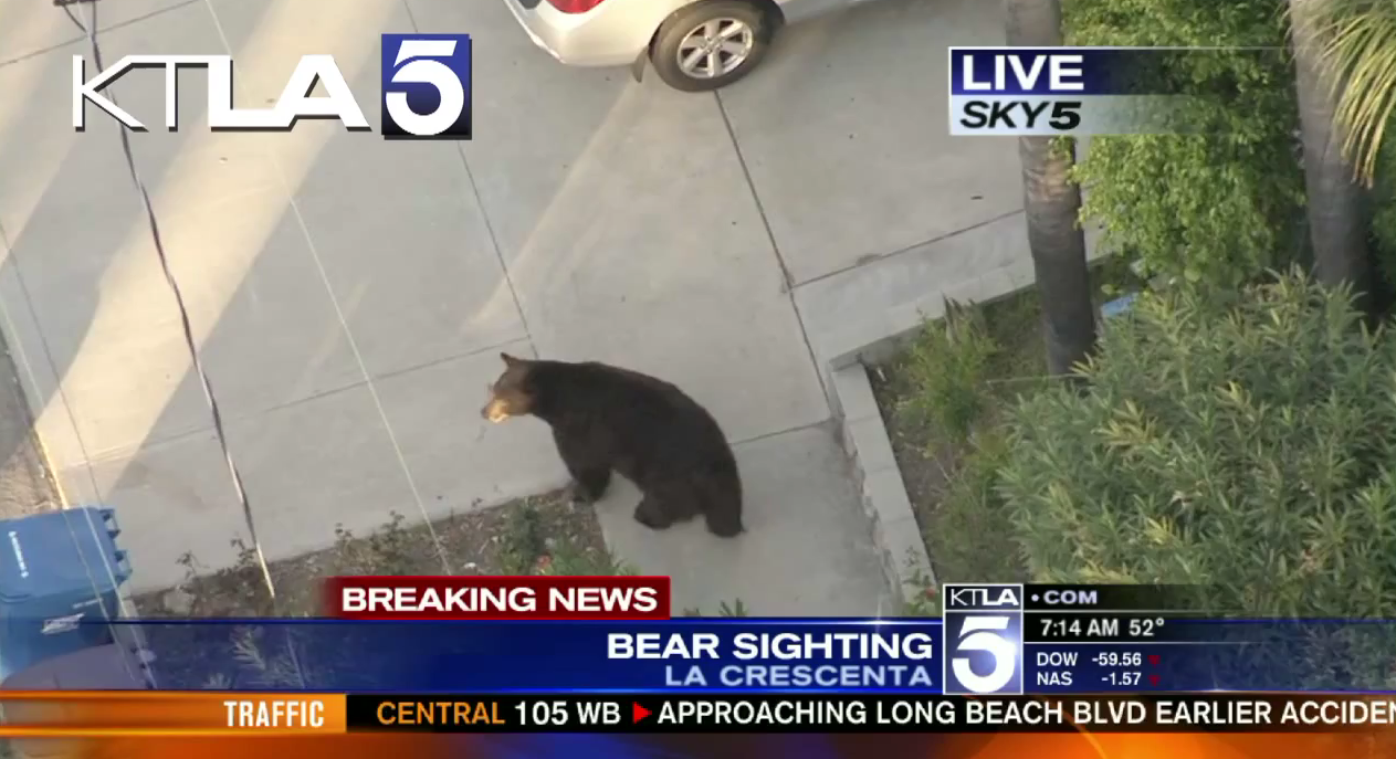 Texting Guy is Too Busy to Notice Large Black Bear
