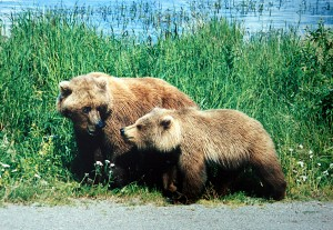 Mama grizzly and cub