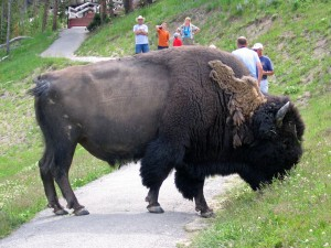 Yellowstonebuffalo