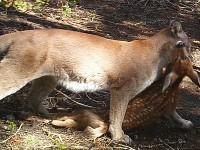cougar_kills_fawn