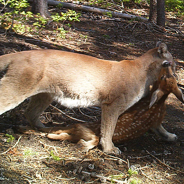 Petersen's Exclusive: Trail Cam Captures Cougar Killing Fawn