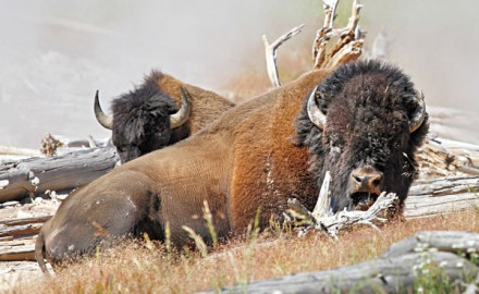 Buffalo Hunted