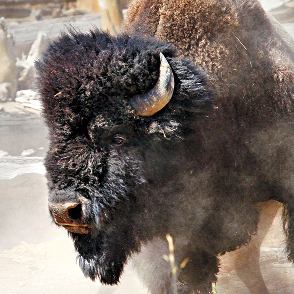 Buffalo Hunted