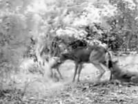 coyotedeer