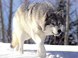 As Minnesota prepares for opening day of wolf season November 3, the controversy surrounding the