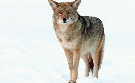 As an unprotected species that residents are allowed to kill year round—deemed a nuisance and a