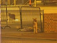 Wrigley-coyotes_001
