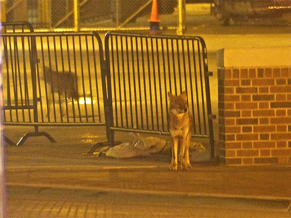 Chicago Photographer Spots Coyotes at Wrigley Field