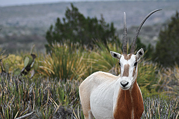 Open Range: Hunting the Scimitar-Horned Oryx in Texas