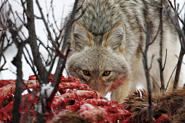 Coyotes and Deer: Can These Predators Bring Down Mature Bucks?