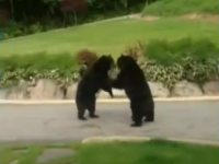 Black bears fighting