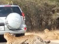 Impala leaps into car