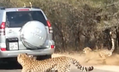 Impala Leaps into Car to Escape Cheetahs at Kruger Natl. Park