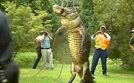 North Carolina Gator