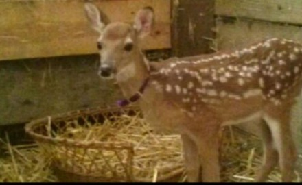 The actions of the Wisconsin Department of Natural Resources in dealing with a whitetail fawn at a