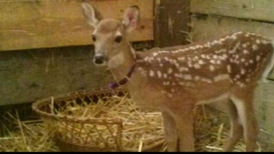 Armed Wildlife Agents Kill Fawn in Animal Shelter Raid