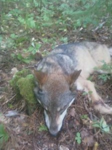 Minnesota wolf