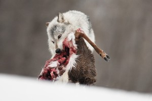 Why Anti-Hunters Are Dead Wrong About Wolves