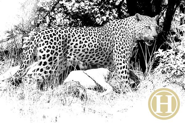 leopard_3_sm