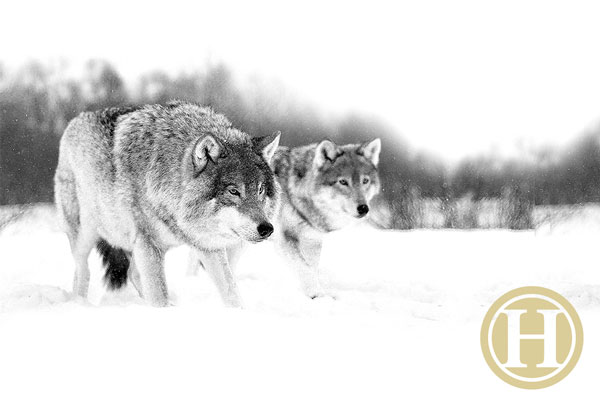 wolves_sm2