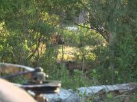 Crossbow Boar Hunting