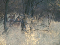 South African Impala