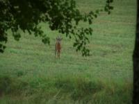 Chasing Roe Deer in Sweden