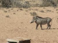 South African Warthog