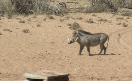 Mike and Dory Schoby go on an action-packed South African hunt for plains game, including the warthog.