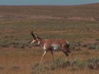 Bowhunting Wyoming Prairie Goats (Antelope)