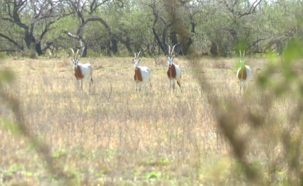 Mike Schoby is in south Texas stalking the wary scimitar horned oryx.