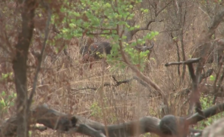 Craig Boddington finds a new buffalo hot spot in the western African country of Burkina Faso.