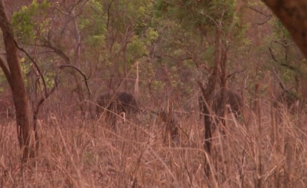 Craig Boddington and his wife Donna are in Burkina Faso hunting buffalo.  While the hunt is