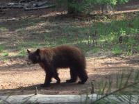 Apache Black Bear Hunt