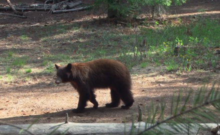 Arizona's White Mountains are home to the Apache tribe and lots of color-phase black bears.