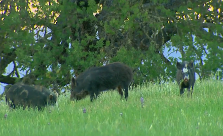 Jason Morton is hunting feral hogs on California's Central Coast.