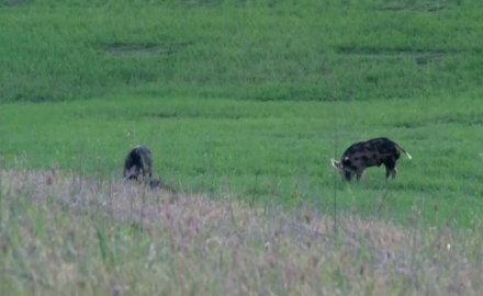 We take you back to 2012 where Kevin Steele and Ron Coburn of Savage Arms put the hurt on hogs.
