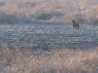 Challenging Coyote Hunt