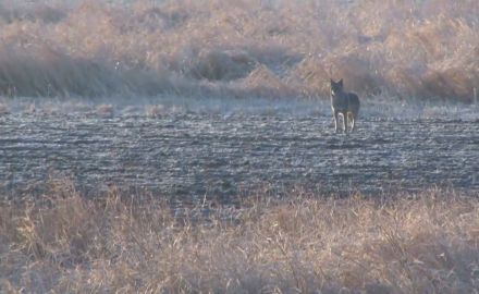 Mike Schoby hunts coyotes on his home turf in cetral Illinois.