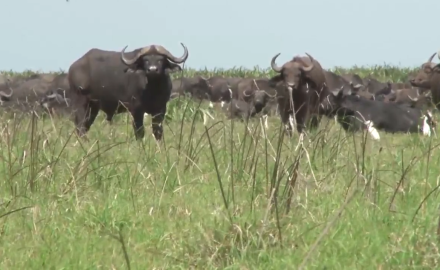 Mozambique holds great herds of Cape Buffalo and Graig Boddington is hot on their trail.