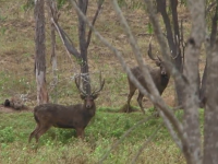 Rusa Deer Hunt Downunder